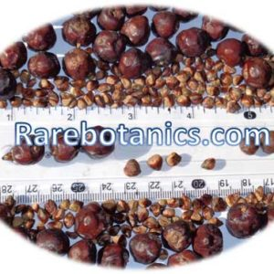 Juniperus Communis Seeds And Berries